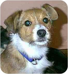 Border Terrier/Sheltie, Shetland Sheepdog Mix Puppy for adoption in dewey, Arizona - Cinnamon