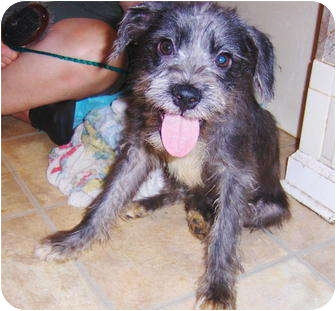 Schnauzer (Standard)/Terrier (Unknown Type, Small) Mix Puppy for adoption in Jacksonville, Florida - Willow