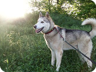 Husky Mix Dog for adoption in Augusta County, Virginia - Zeus: would love agility
