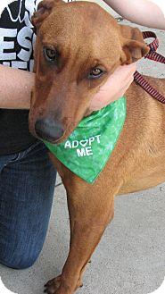 Labrador Retriever/Rhodesian Ridgeback Mix Puppy for adoption in Arlington, Texas - Scrappy