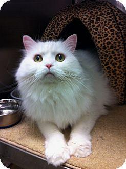 Persian Cat for adoption in Warminster, Pennsylvania - Luna