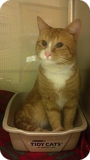 Domestic Shorthair Cat for adoption in Worcester, Massachusetts - Percy
