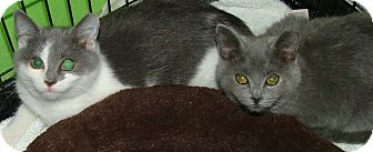 American Shorthair Kitten for adoption in Chattanooga, Tennessee - Remi
