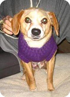 Beagle Mix Dog for adoption in Encino, California - NORMAN