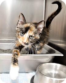 Domestic Shorthair Kitten for adoption in Bradenton, Florida - Falafel