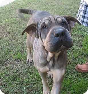 Shar Pei Mix Dog for adoption in Greenville, Rhode Island - Delilah