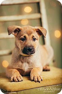 German Shepherd Dog Mix Puppy for adoption in Portland, Oregon - Moe