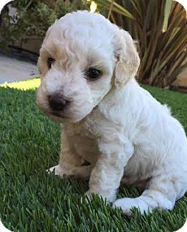 Cockapoo/Poodle (Miniature) Mix Puppy for adoption in Irvine, California - Lannister