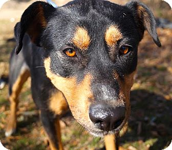 Rottweiler/Hound (Unknown Type) Mix Dog for adoption in Groton, Massachusetts - Thor