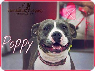 Pit Bull Terrier Mix Dog for adoption in Las Vegas, Nevada - Poppy