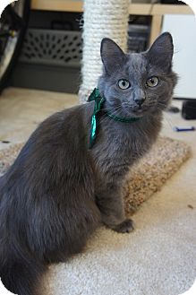 Domestic Longhair Cat for adoption in Los Angeles, California - Mina-doglike, active