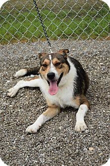 Collie Mix Dog for adoption in Lebanon, Missouri - Bristol