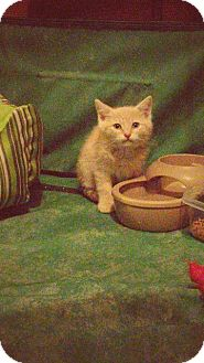 Domestic Shorthair Kitten for adoption in Putnam, Connecticut - Pikachu