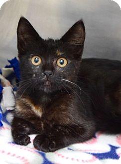 Domestic Shorthair Kitten for adoption in Dublin, California - Olive