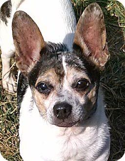 Chihuahua Dog for adoption in West Warwick, Rhode Island - Cerbie