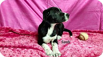 Border Collie/Boxer Mix Puppy for adoption in Oxford, Connecticut - Sandy