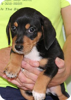 Dachshund Mix Puppy for adoption in Nanuet, New York - Dana