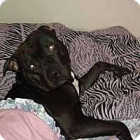 Adopt A Pet :: Ziggy (urgent) - Treton, ON