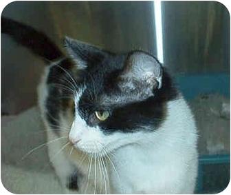 Domestic Shorthair Cat for adoption in Overland Park, Kansas - Babs