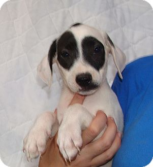 Beagle Mix Puppy for adoption in Oviedo, Florida - Summer