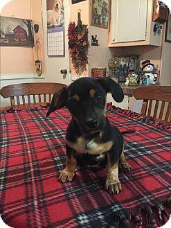 Dachshund/Dachshund Mix Puppy for adoption in Glastonbury, Connecticut - Porter