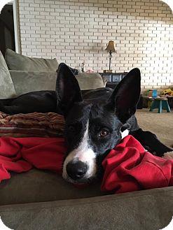 Border Collie/Labrador Retriever Mix Puppy for adoption in Alpharetta, Georgia - Keoni