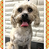 Bichon Frise Mix Dog for adoption in Tulsa, Oklahoma - Adopted!! Baxter - SE TX