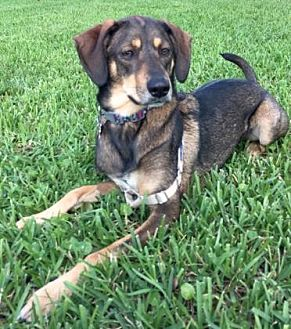 Hound (Unknown Type) Mix Dog for adoption in Loxahatchee, Florida - Stella