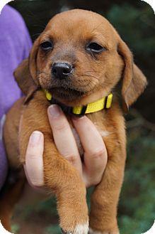 Dachshund/Chihuahua Mix Puppy for adoption in Newark, Delaware - Camden