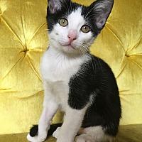 Adopt A Pet :: Raphaella - St. Louis, MO