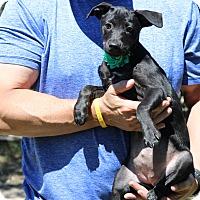 Dachshund/Terrier (Unknown Type, Small) Mix Puppy for adoption in Bandera, Texas - Kara