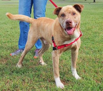 Mixed Breed (Large) Mix Dog for adoption in Austin, Texas - Samson