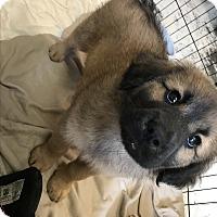 Adopt A Pet :: Sampson - Bryson City, NC