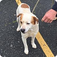 Adopt A Pet :: Bandit - Rutherfordton, NC