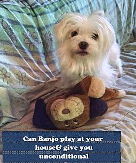 Maltese Dog for adoption in Franklinton, North Carolina - BANJO