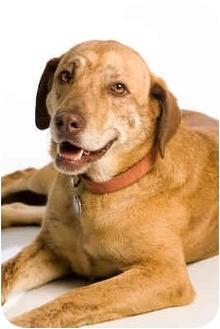 Labrador Retriever/Plott Hound Mix Dog for adoption in Portland, Oregon - Stilton