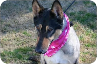 Collie/German Shepherd Dog Mix Dog for adoption in Gardena, California - Roxy