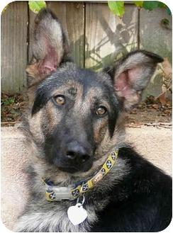 German Shepherd Dog/Greyhound Mix Puppy for adoption in Los Angeles, California - Lilly von Perkins