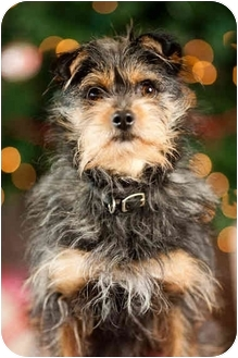 Yorkie, Yorkshire Terrier/Cairn Terrier Mix Dog for adoption in Portland, Oregon - Jimmy