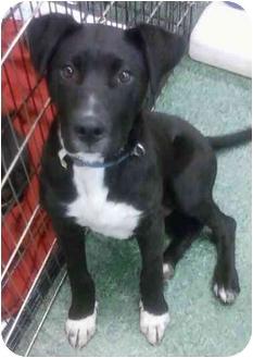 Labrador Retriever/Great Dane Mix Puppy for adoption in Anza, California - Shiloh