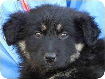 German Shepherd Dog Mix Puppy for adoption in Los Angeles, California - Katy von Karlsruhe