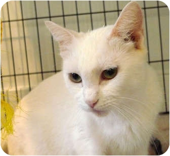 Domestic Shorthair Cat for adoption in Troy, Michigan - Baby