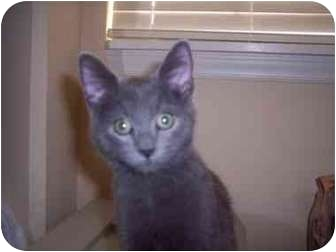 Domestic Shorthair Kitten for adoption in Kingsport, Tennessee - Patrick