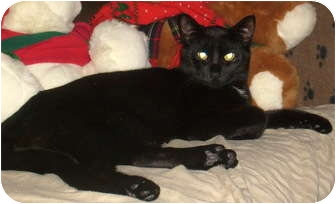 Domestic Shorthair Cat for adoption in Troy, Michigan - Kali