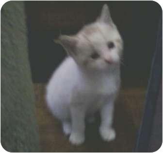 Siamese Kitten for adoption in Whitestone, New York - Henry