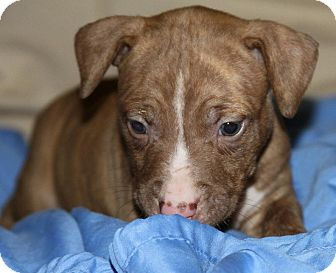 American Staffordshire Terrier Puppy for adoption in Burr Ridge, Illinois - Matty