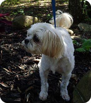 Shih Tzu/Maltese Mix Dog for adoption in Harrisonburg, Virginia - Zoey