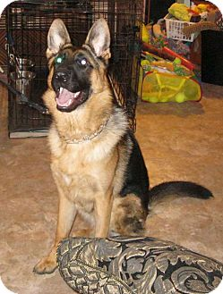 German Shepherd Dog Puppy for adoption in Cantrall, Illinois - BANJO