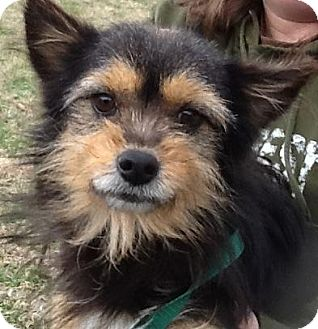 Yorkie, Yorkshire Terrier Mix Dog for adoption in Washington, D.C. - Radar (reduced $350)