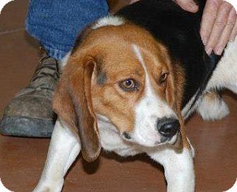 Beagle Dog for adoption in Baltimore, Maryland - Banjo